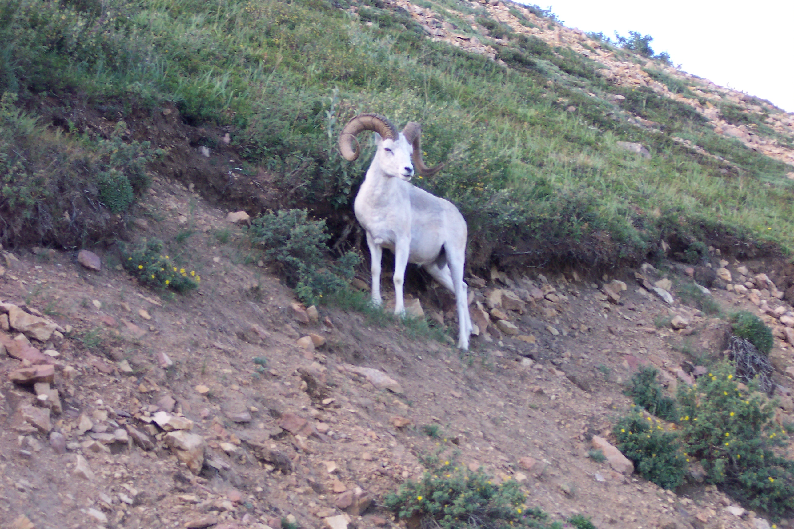 See Wild Mountain Goats on the NorthWest Tour